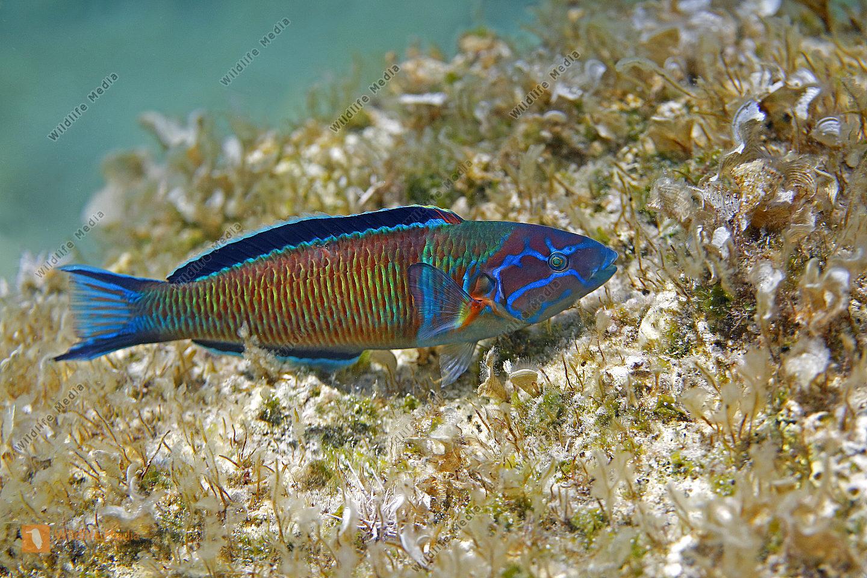 Meerpfau Männchen