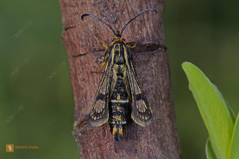 Ungarischer Glasflügler Weibchen