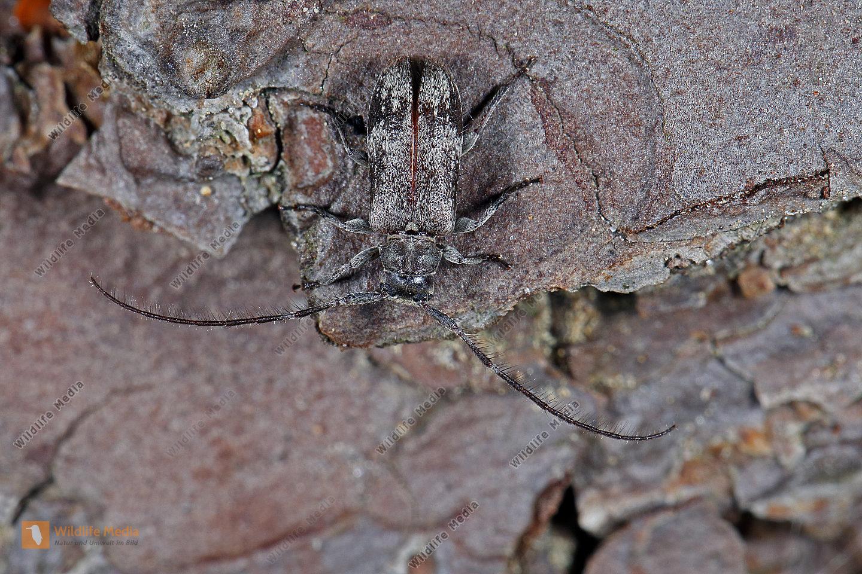 Weißgefleckter Wimpernbock