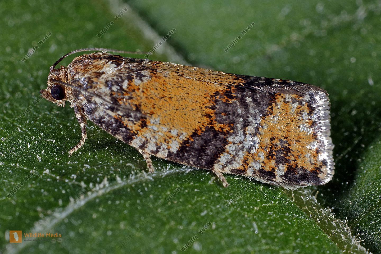 Wickler Ptycholomoides aeriferana